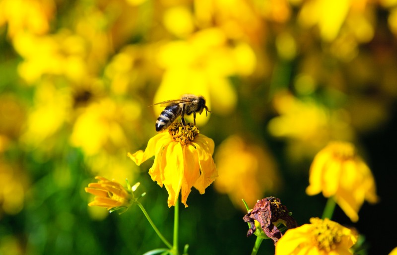 Propolis - Benefits, Uses, Dosage and More