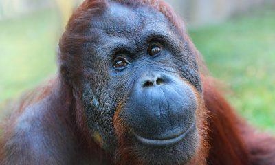 Wild orangutan extinction may be less than a decade away