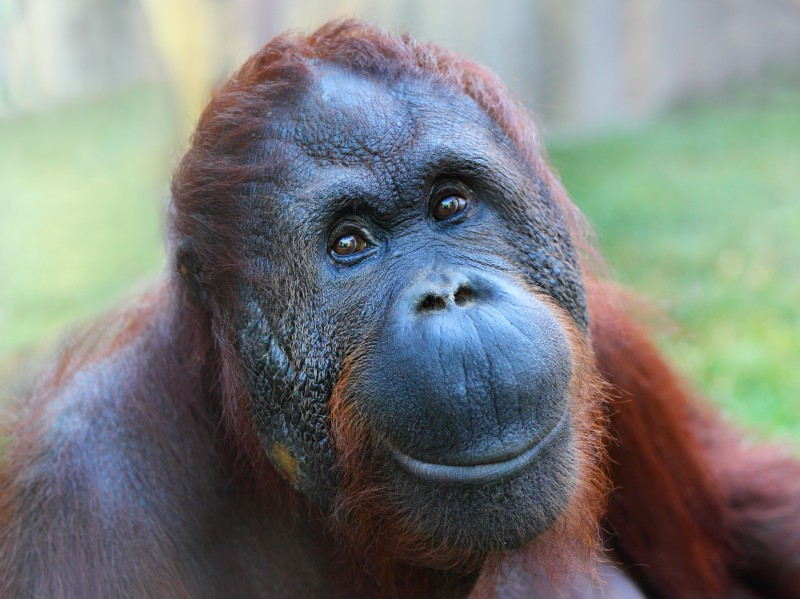 Wild orangutan extinction may be less than a decade away