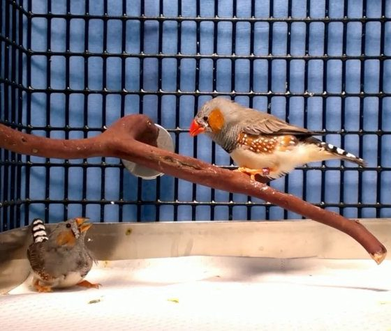 Scientists can now teach birds to sing new songs by implanting false memories