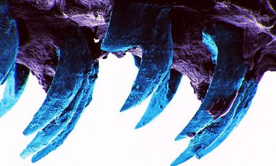 Limpet teeth are the toughest biological material in the world