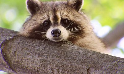 Raccoons are not just mischievous – they're also as smart as monkeys