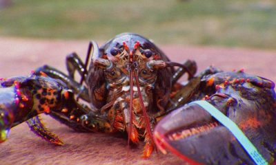 Lobsters grow larger, stronger and more fertile as they age